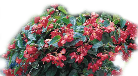 Dragon Wing Begonia